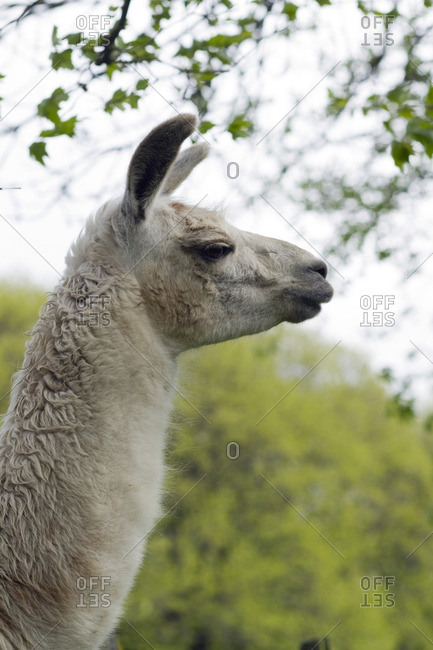 France, central Southern France, the regional natural park of Haut-Languedoc, the Montagne Noire, llama on a farm
