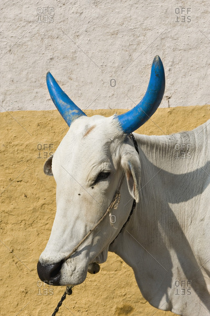 India, Chhattisgarh, cow with the painted horns