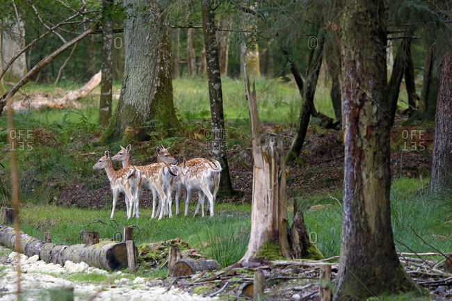 France, Burgundy, Yonne. Area of Saint Fargeau and Boutissaint. Slab season. Fawns at the edge of the forest.