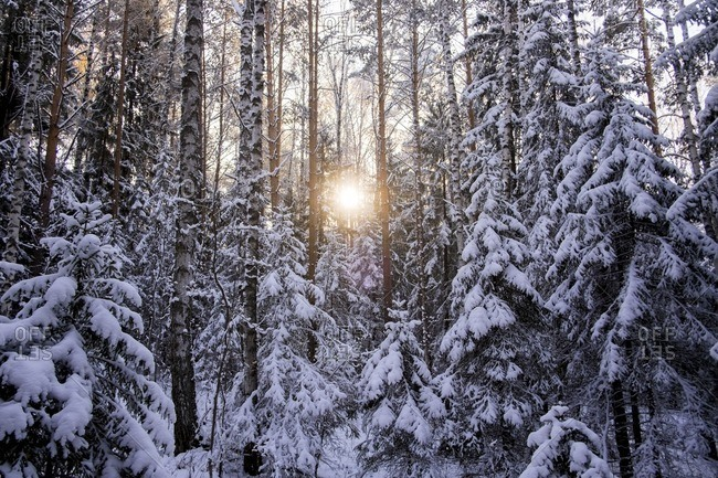 Snow covered trees growing in forest during sunset