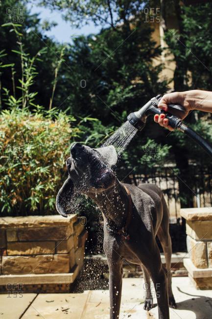 Cropped image of hand washing Great Dane