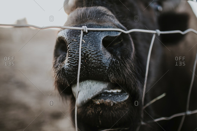 Close-up of American bison licking fence