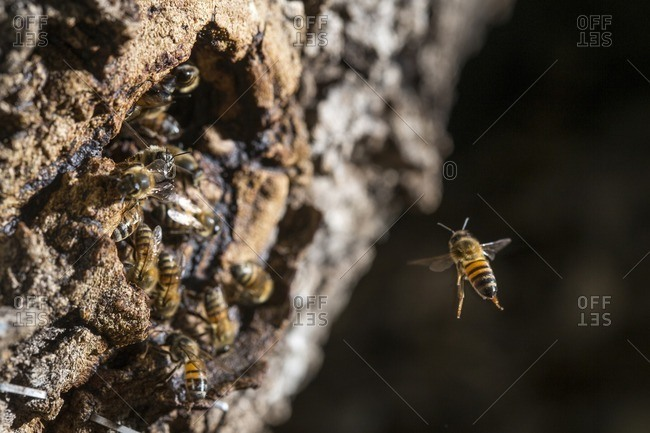 Close-up of honey bee flying towards swarm in tree trunk