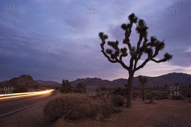 Light Trails on road by Joshua tree against cloudy sky dusk