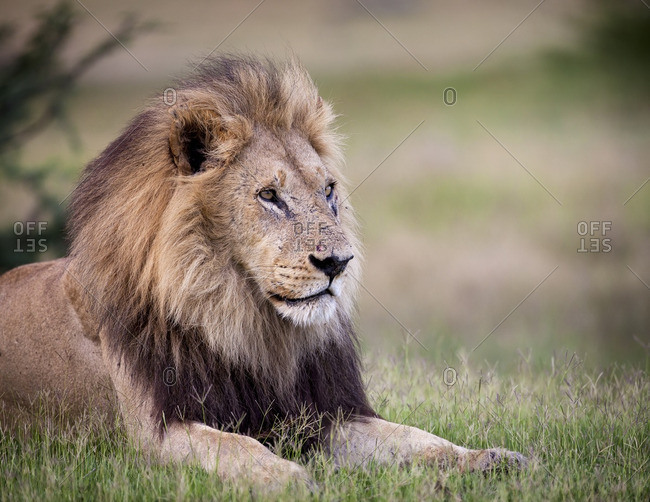 A full maned lion resting in short green grass in Namibia