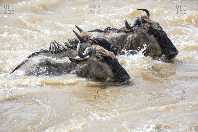 Three wildebeest swimming across a river during the migration