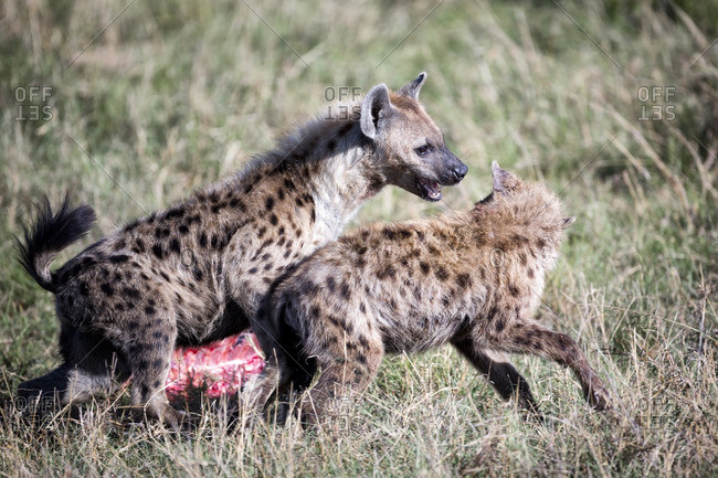 Young hyenas play fighting