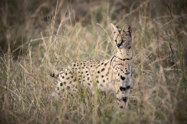 Serval cat hunting rodents in long grass of Masai Mara