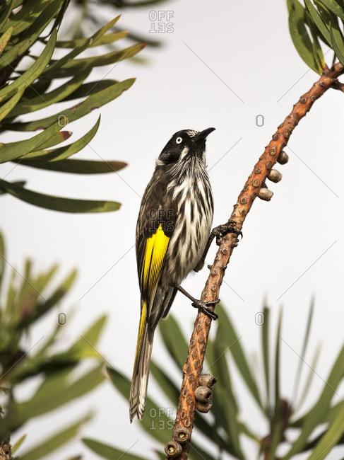 A native australian bird perched on a branch