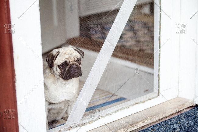 Pug looking through window