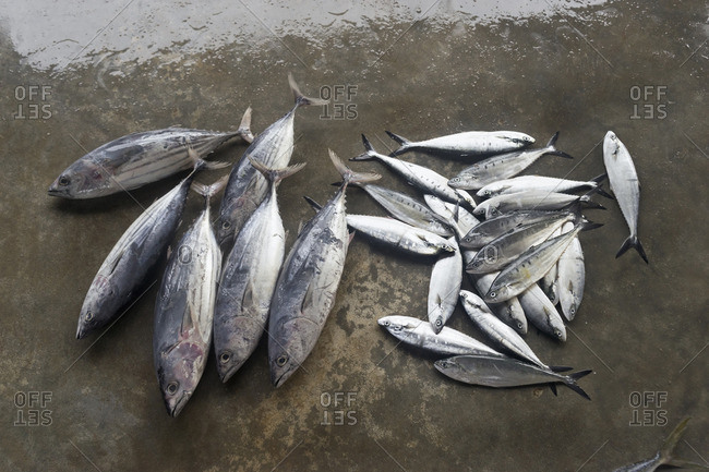 Fresh fish for sale at fish market, Western Province, Sri Lanka