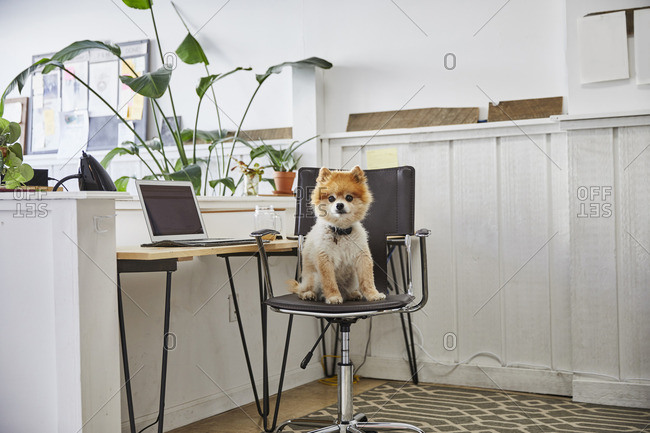 Portrait of Pomeranian puppy sitting on chair in creative office