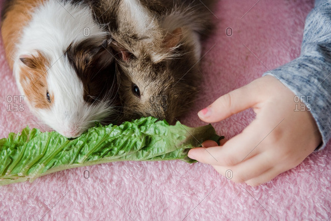 Child giving lettuce to two pet guinea pigs