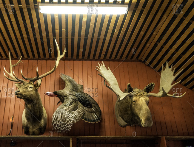 Stuffed deer, turkey and moose mounted on a wall