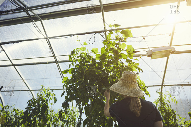 Rear view of female farmer examining plants in nursery