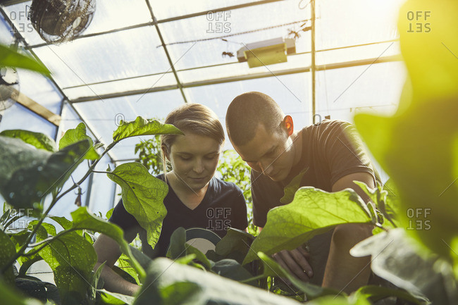 Young male and female farmers examining plants in greenhouse