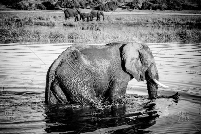 Elephant wading near the shore of a river