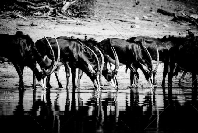 Herd of sable antelope drinking at the banks of a river