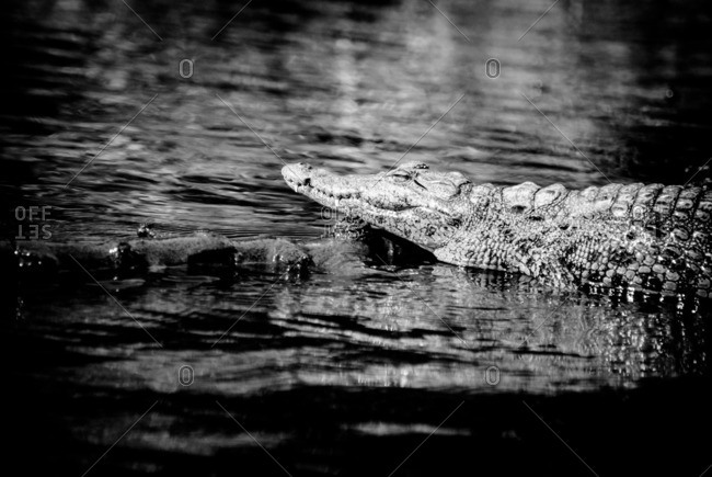 Nile crocodile resting its head on a log in a river