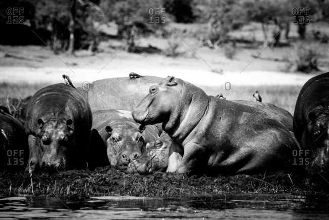 Hippos sunbathing on a sand bar in the middle of a river