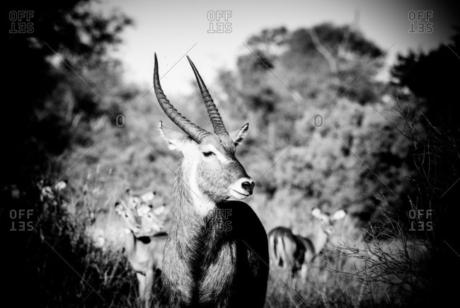 Young male waterbuck standing near impalas in a grassland