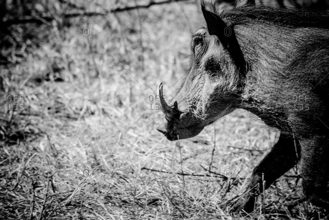 Warthog walking through a grassland