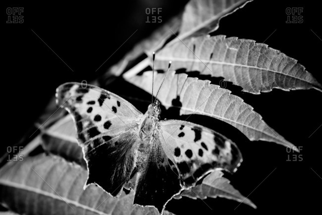 Question mark butterfly resting on a leaf