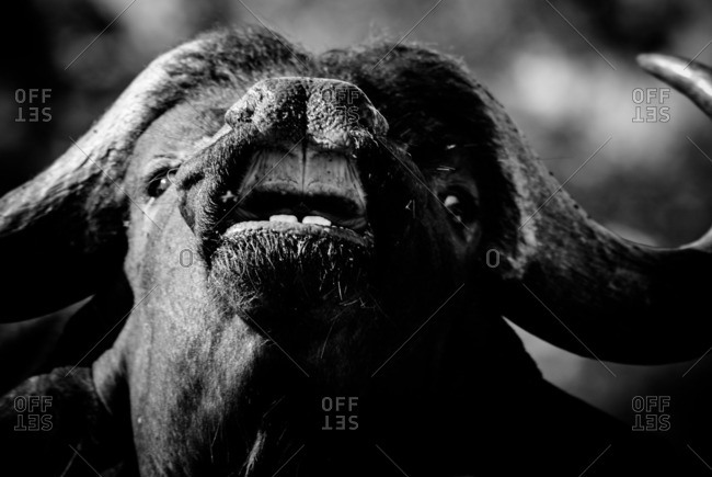 Close-up of a Cape buffalo baring its teeth