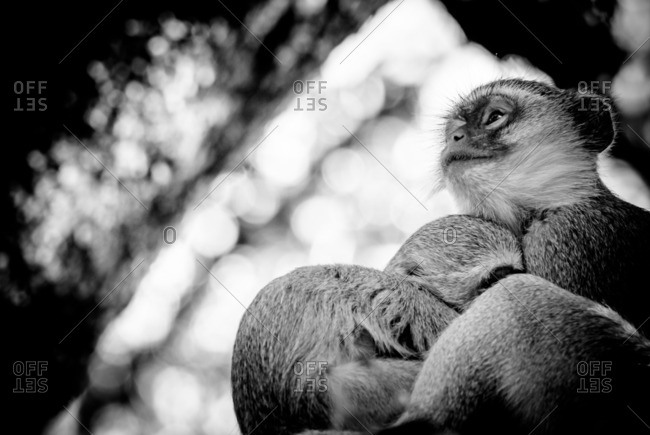 Vervet monkey mother cradling her baby