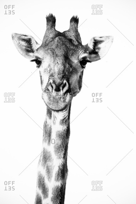 Spotted head and neck of a giraffe