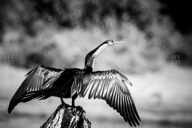 African darter drying its wings in the sun