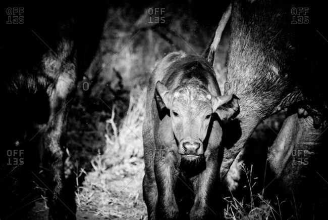 Cape buffalo calf standing behind its mother