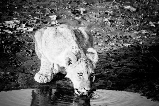 Lion cub drinking from a pool of water