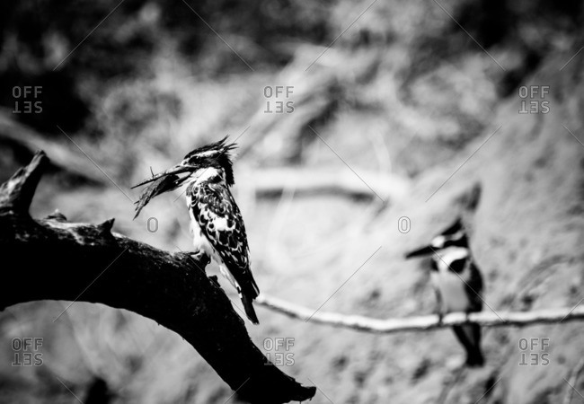 Pied kingfisher perched on a log holding a small tilapia