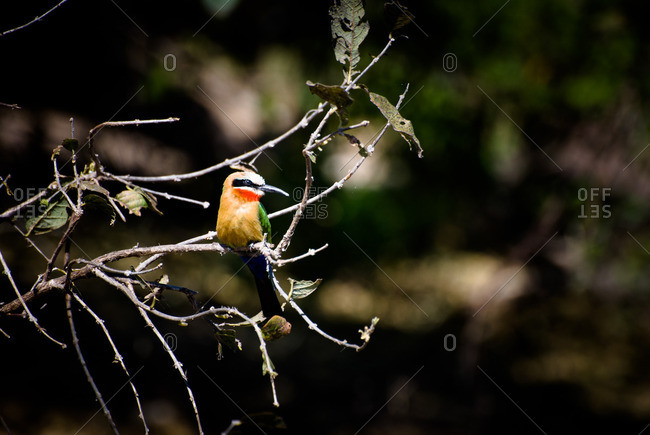 White-fronted bee-eater perched on a tree branch