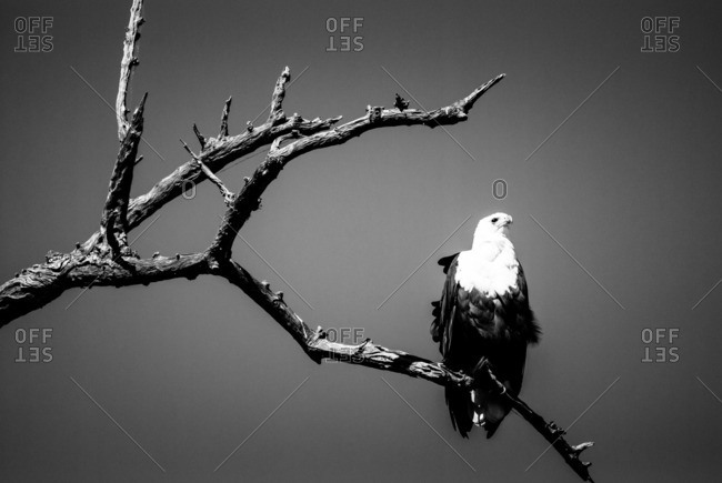 African fish eagle perched on a bare tree branch