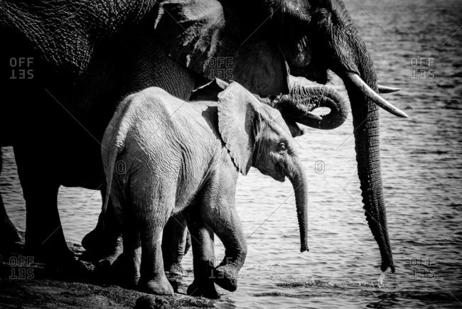 Mother elephant and babies drinking at the edge of a river