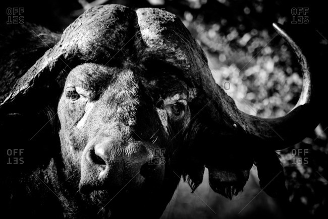 Face of an old Cape buffalo bull