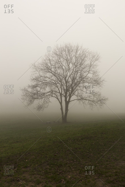 Bare tree in countryside mist