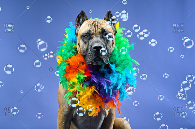 Dog in boa by bubbles