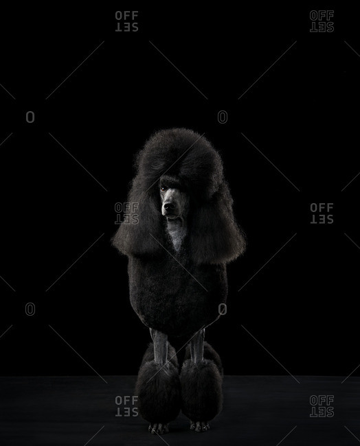A standard poodle in black and white
