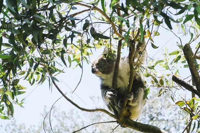 A koala clinging to tree branch