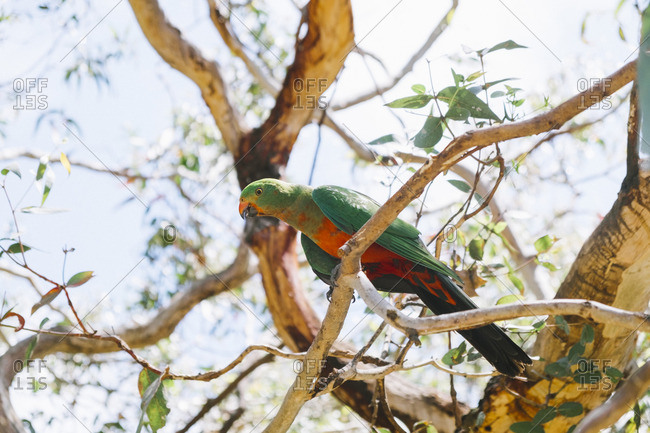 A parrot in a tree, Australia