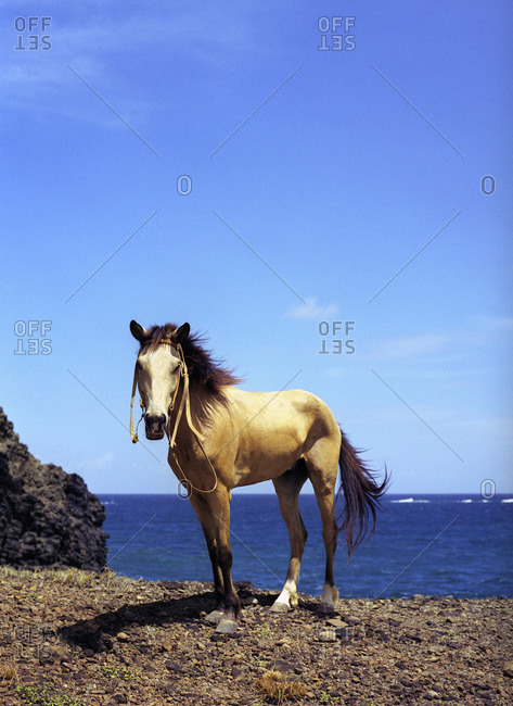 A horse rests on a cliff along the Atlantic coastline. Beausejour, Gros-Islet, St. Lucia, W.I.
