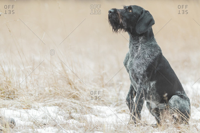 German Wirehaired Pointer sitting on snow-covered field looking up