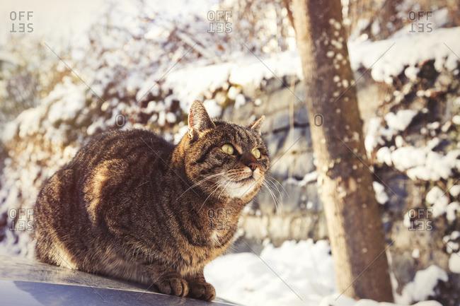 Portrait of tabby cat sitting on motor bonnet in winter