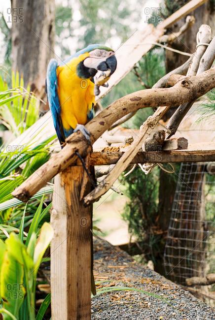 A parrot scratching its beak