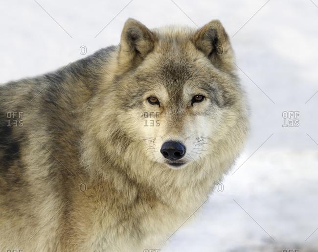Gray Wolf (Canis lupus) in Saskatoon, Saskatchewan