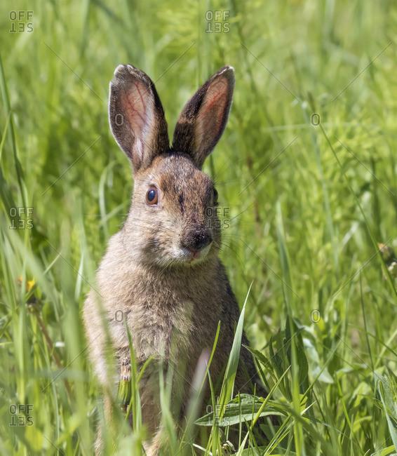 A Snowshoe Hare,Lepus americanus, at Prince Albert National Park, Saskatchewan in Summer
