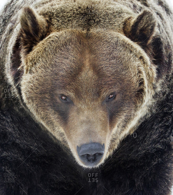A Grizzly Bear (Ursus arctos) facing the camera head on, in Saskatoon, Saskatchewan
